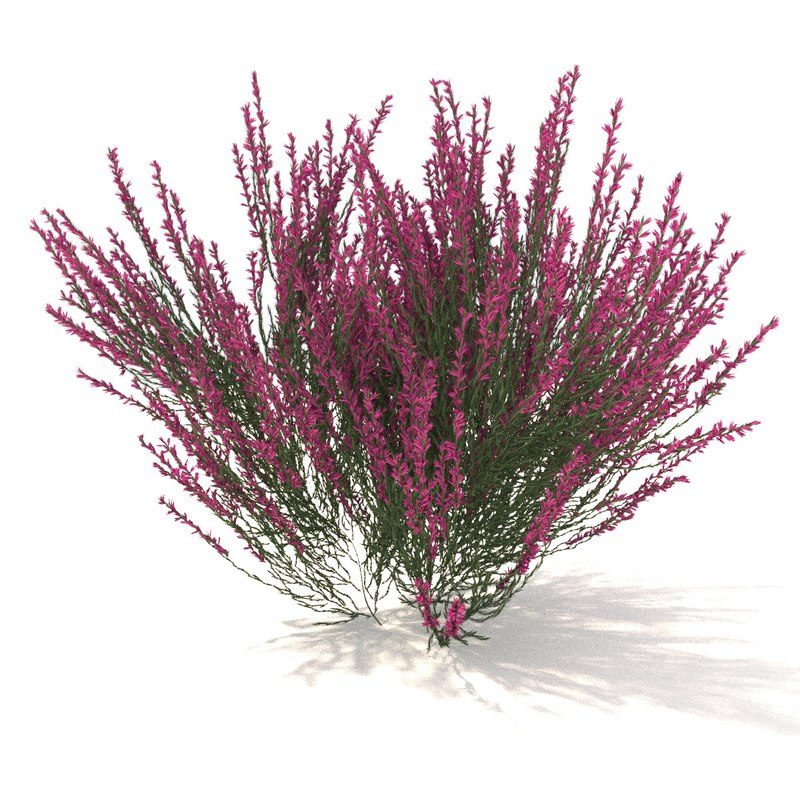 3D pink-red heather model