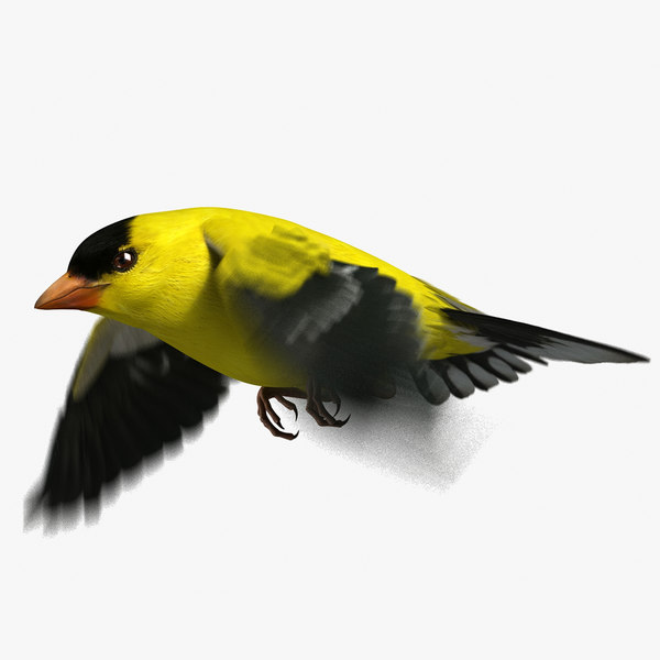 american goldfinch animation 3D model