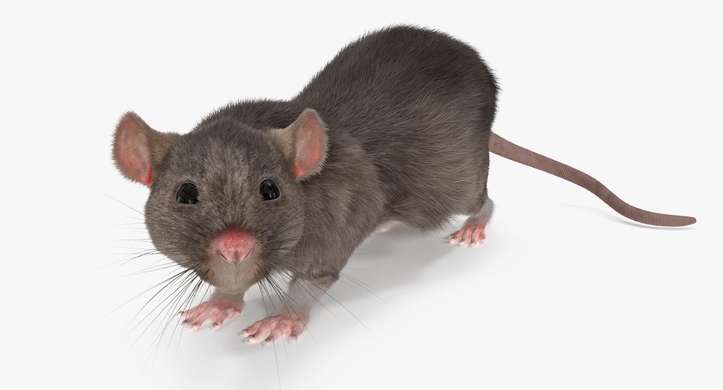 3D rat rigged