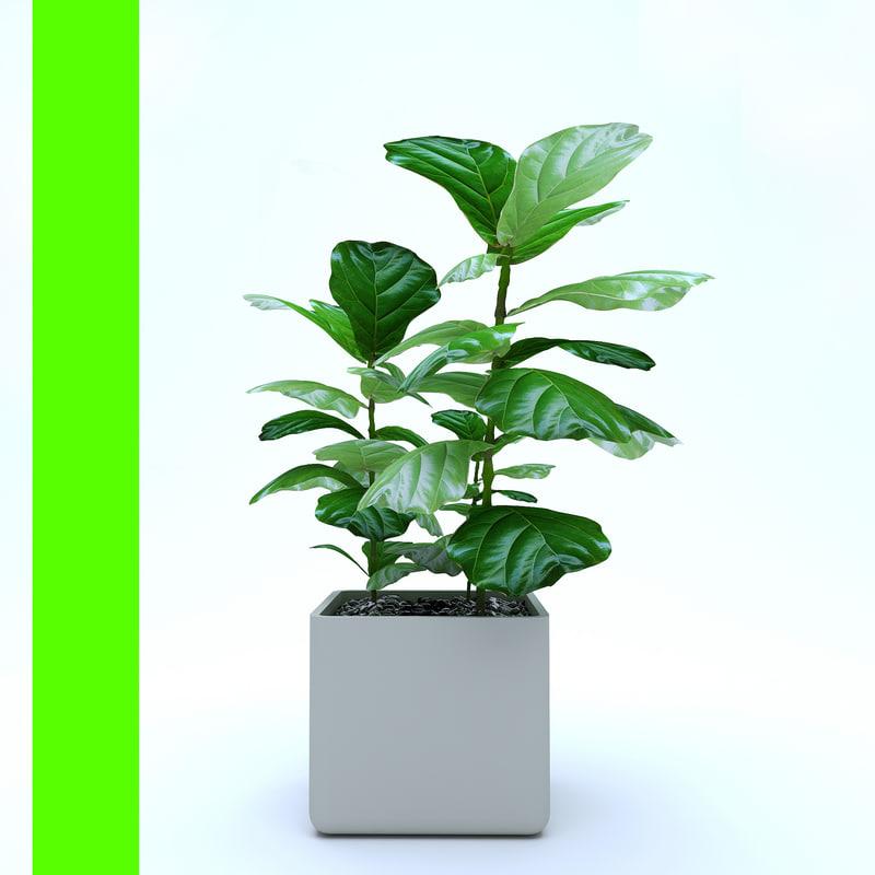 3D model ficus lyrata trees