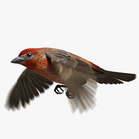 3D house finch animation