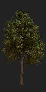 3D oak tree animation model