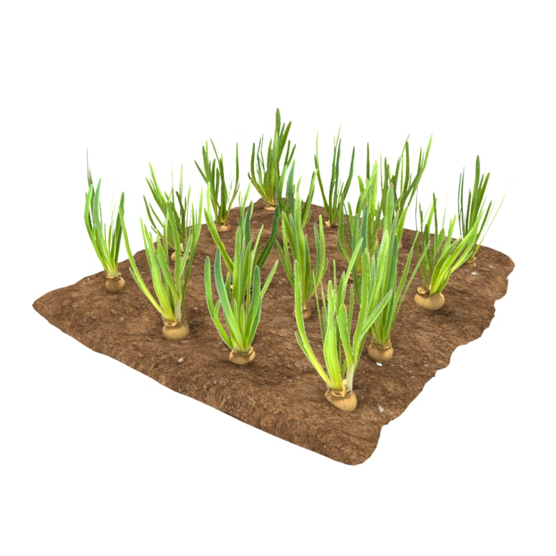 onions 3 growth stages 3D model