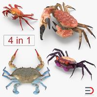 crabs grapsus purple 3D model