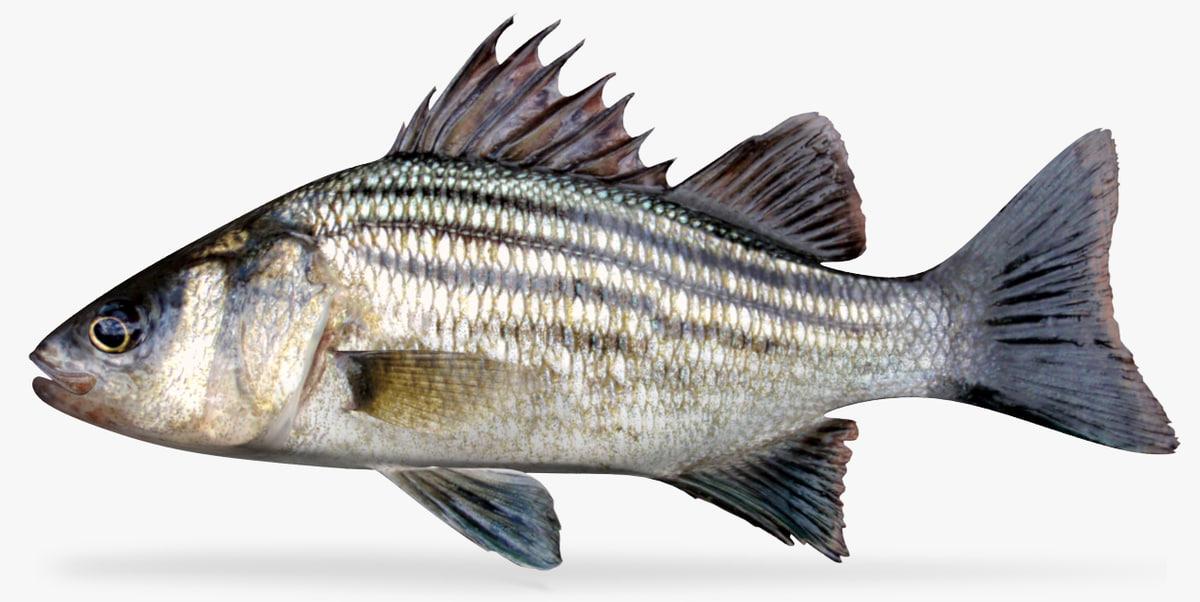 yellow bass 3D