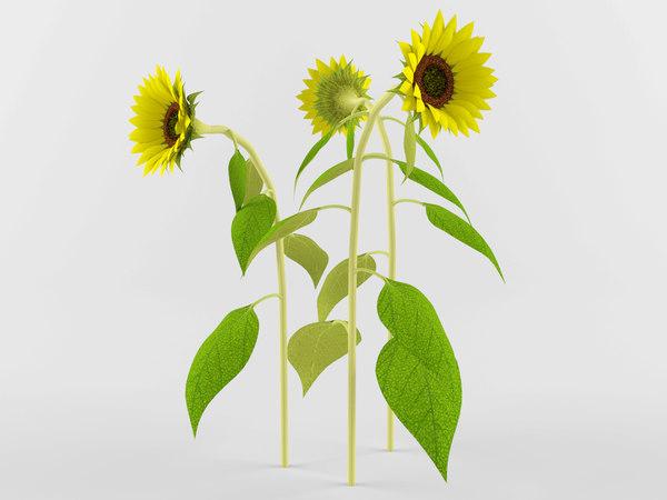 3D model realistic sunflower