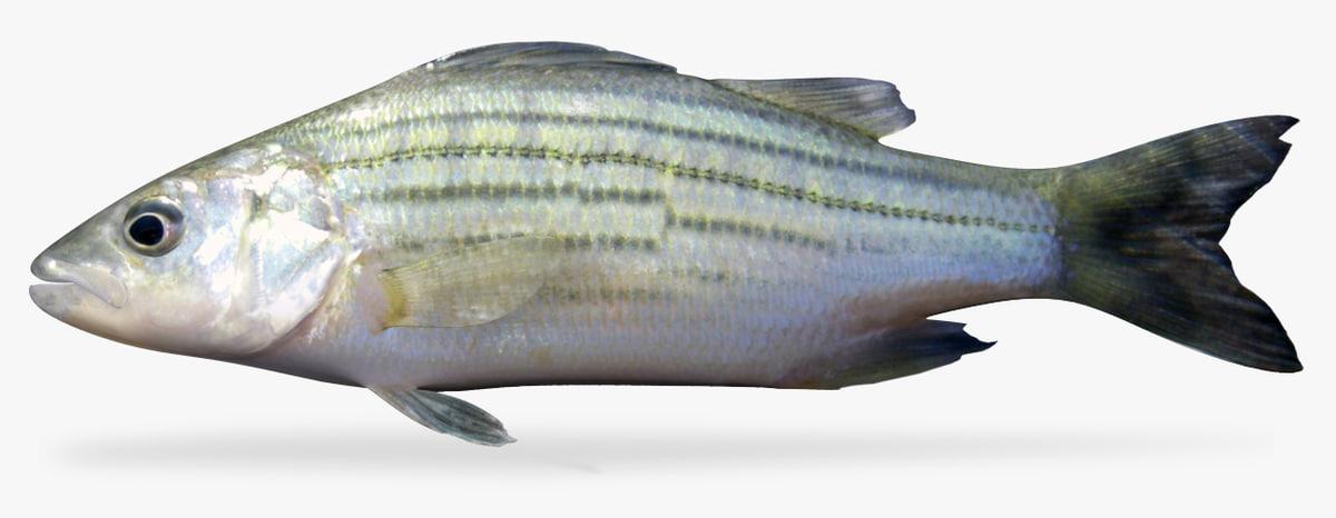 3D yellow bass