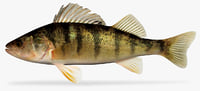 yellow perch 3D
