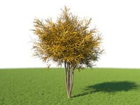 3D model codiaeum croton brasileirinho