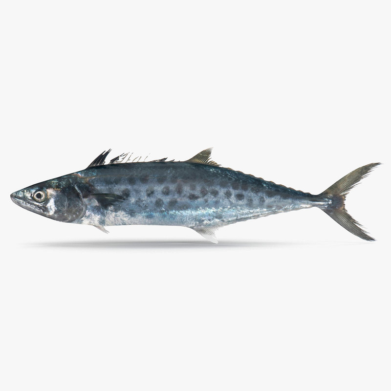 3D queenfish fish model