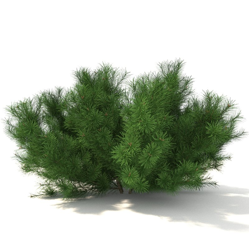 pinus mugo model