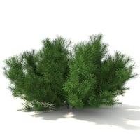 Pinus Mugo 0,5 m