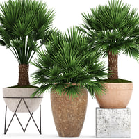 chamaerops palm 3D model