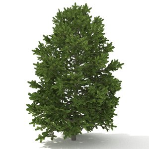 balsam fir 3D model