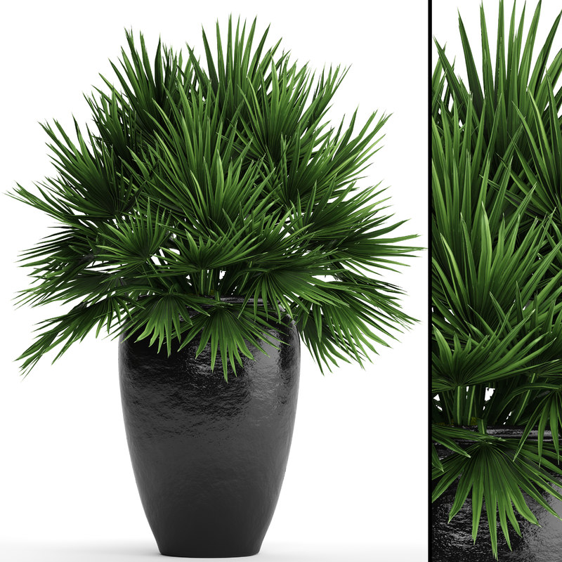 3D chamaerops palm