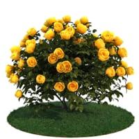 3D model roses bush
