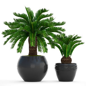 3D cycas palm tree