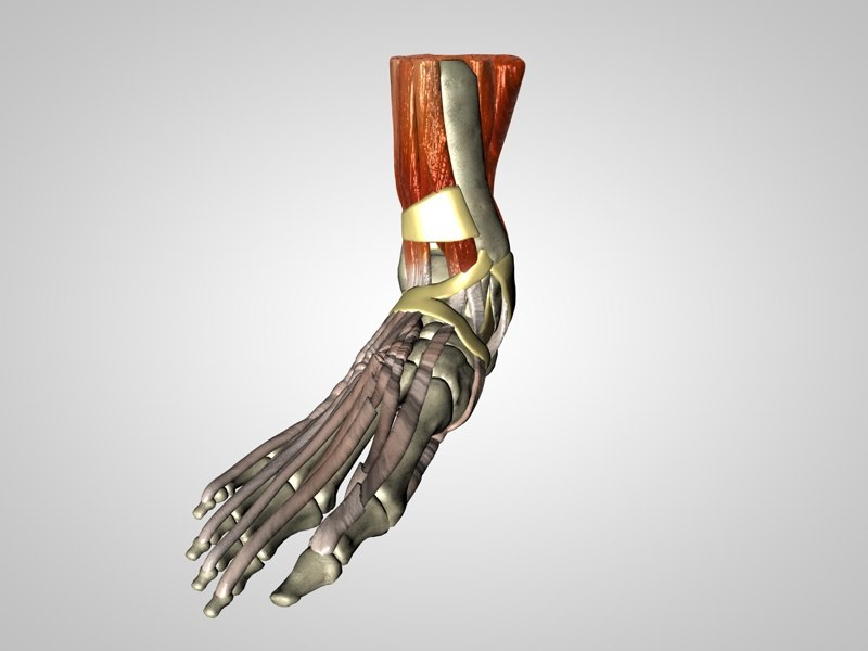 anatomy foot model