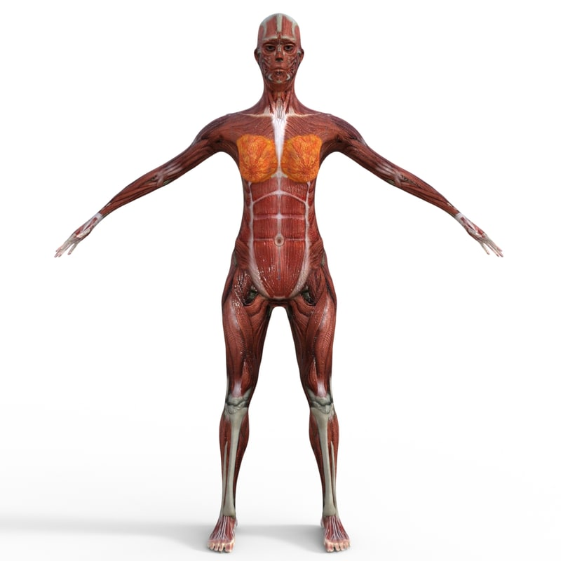 Human Female Anatomy 3d Model Turbosquid 1187074