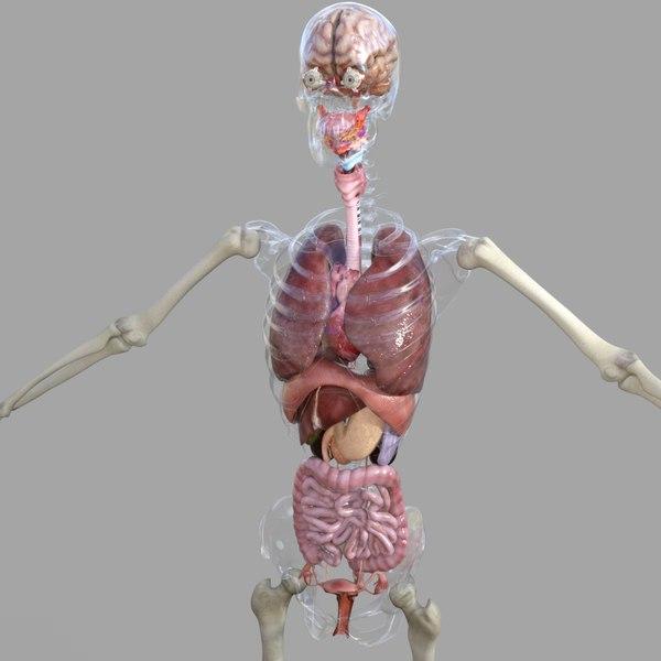 human female anatomy 3D model