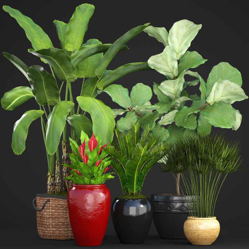 3D model plants cycas ficus