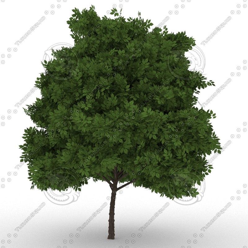 3D elderberry tree sambucus nigra model