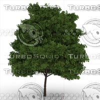 3D elderberry tree sambucus nigra model