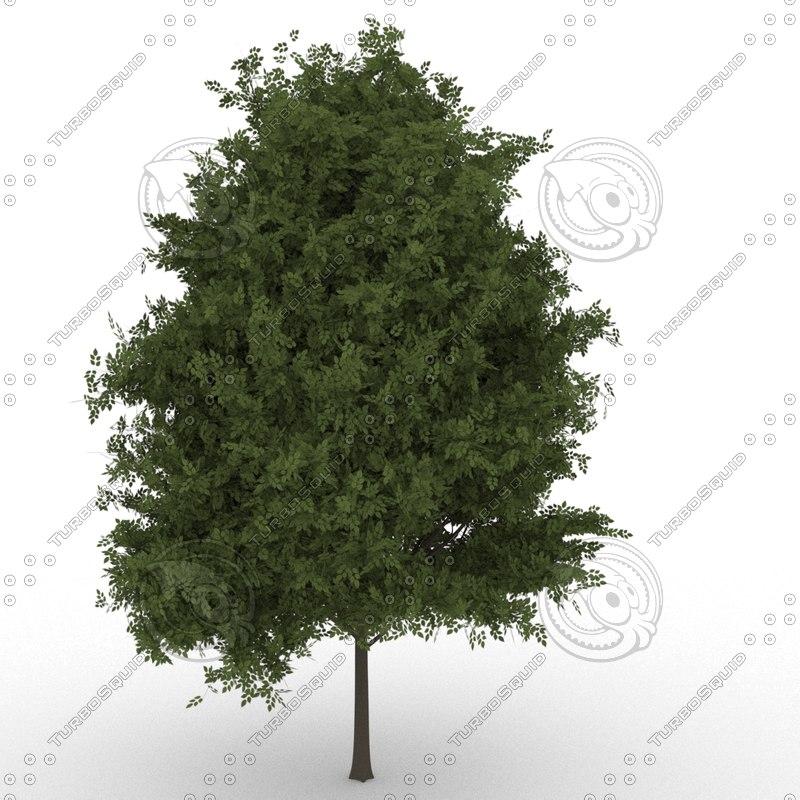 3D hackberrytree prunuspadus model