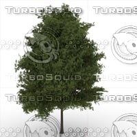 3D hackberrytree prunuspadus model