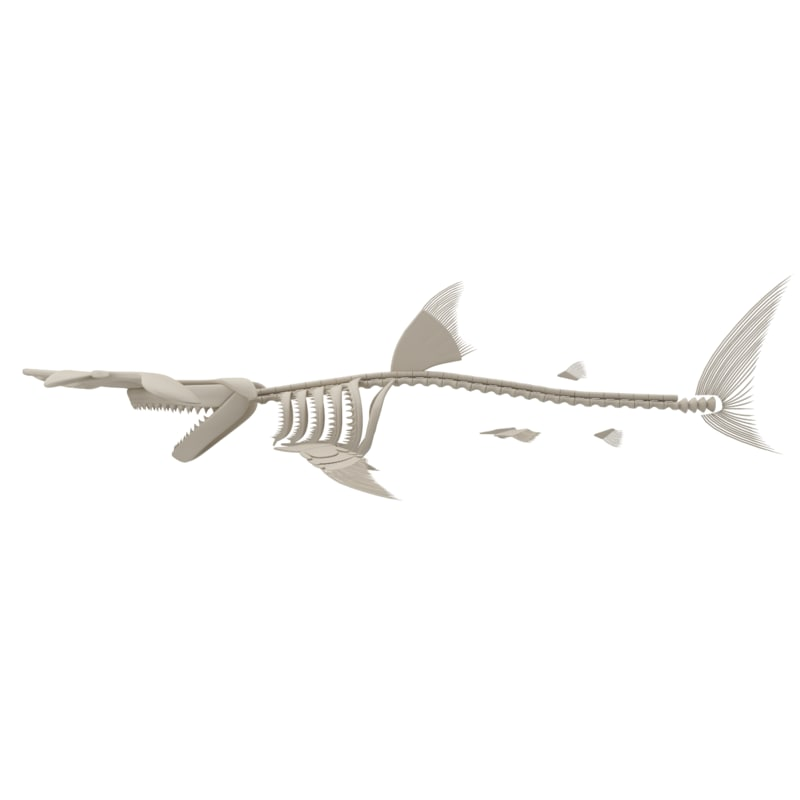hammerhead skeleton model