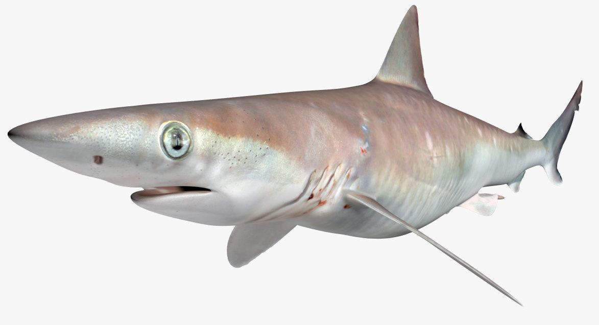 3D atlantic sharpnose shark model