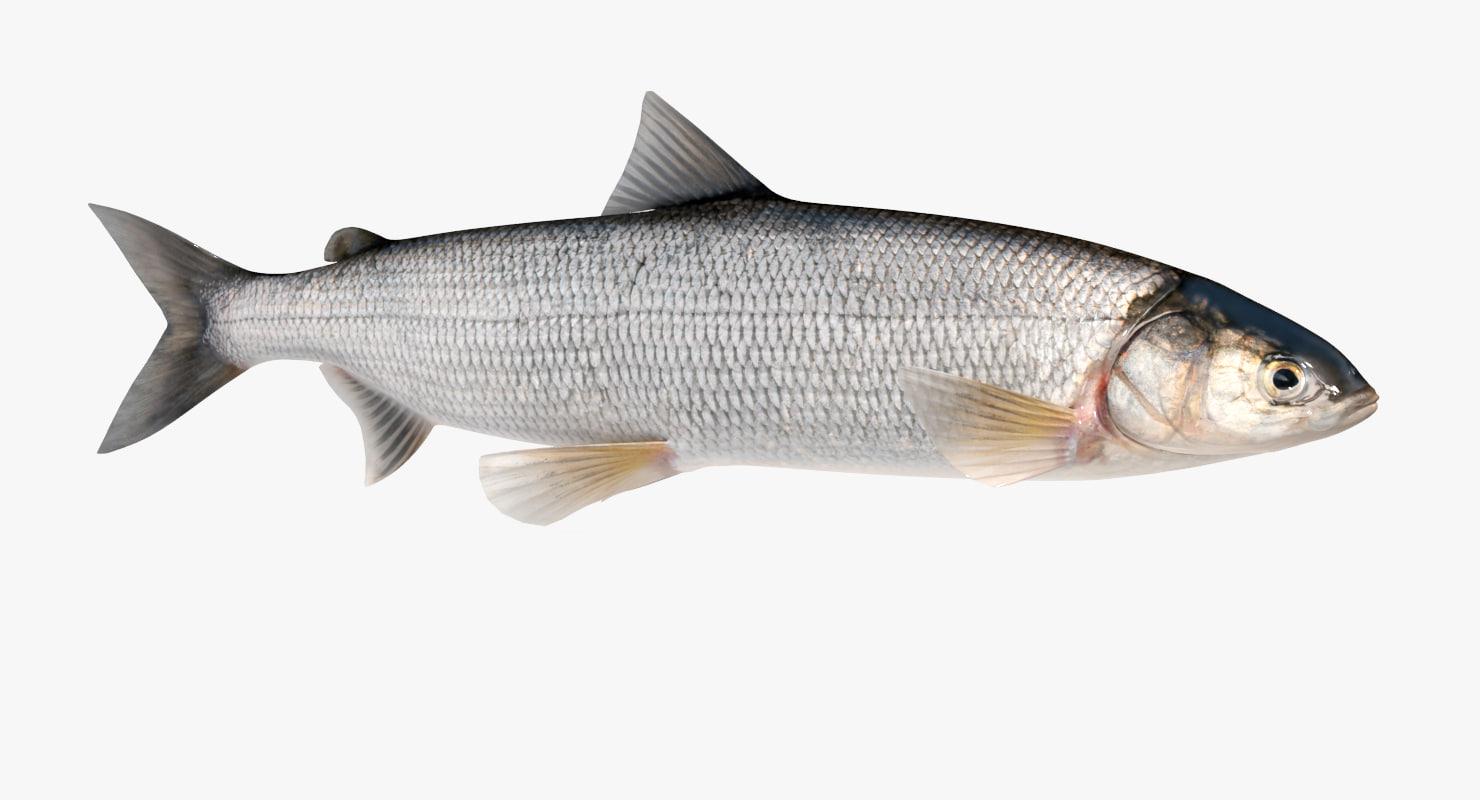 whitefish 2 animation model