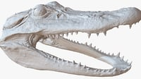 3D crocodile head 1m raw