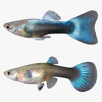 male female guppy 3D model