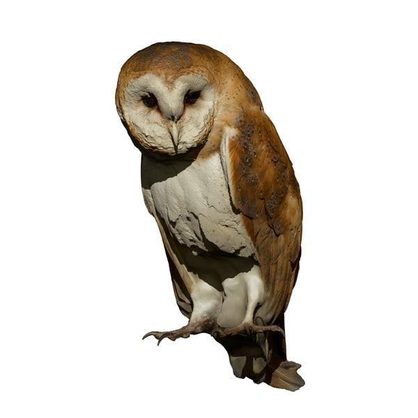perched barn owl taxidermy 3D model