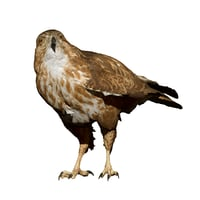 perched buzzard taxidermy 3D