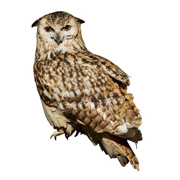 3D model eagle owl - taxidermy