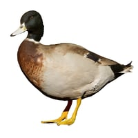 3D male duck standing taxidermy