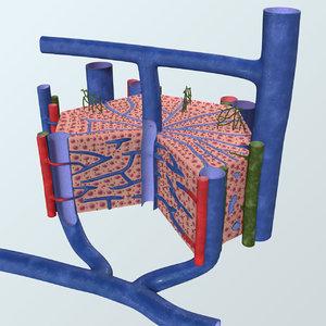 3D realistic liver lobule anatomy model