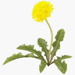 dandelion yellow 3D