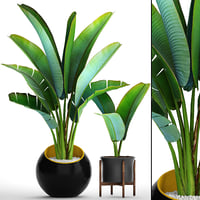 3D ravenala madagascariensis model