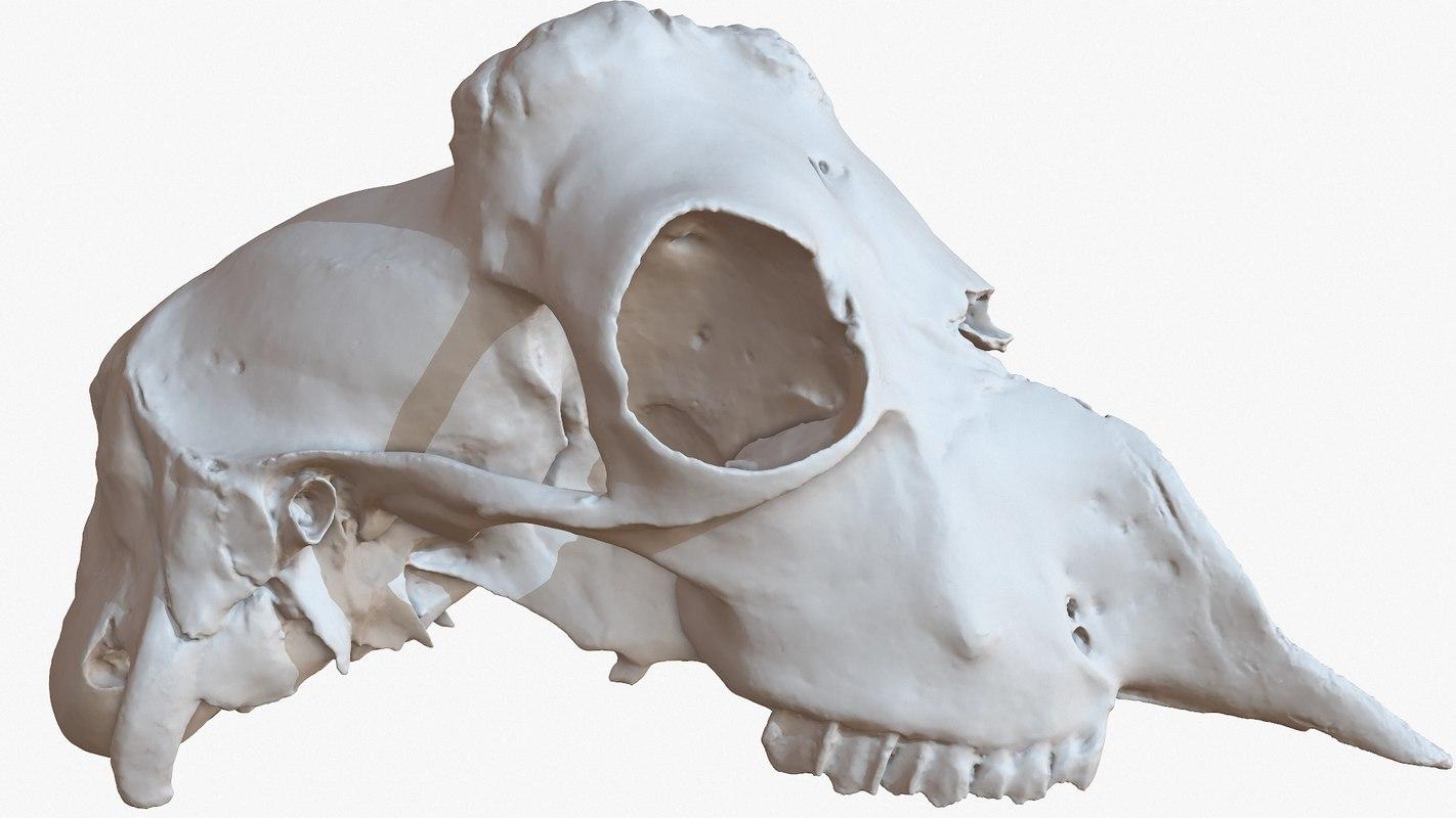 3D goat skull 1m raw