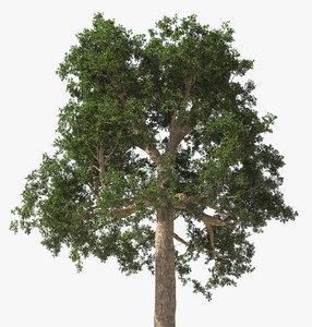 rainforest tree brazil nuts 3D