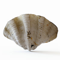 Giant clam seashell