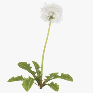3D dandelion white