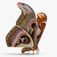 3D large atlas moth model