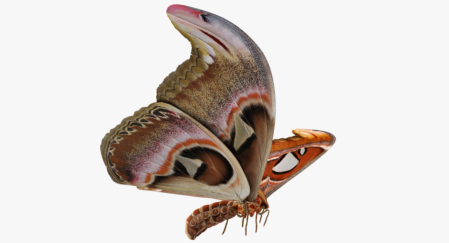 atlas moth flying pose model