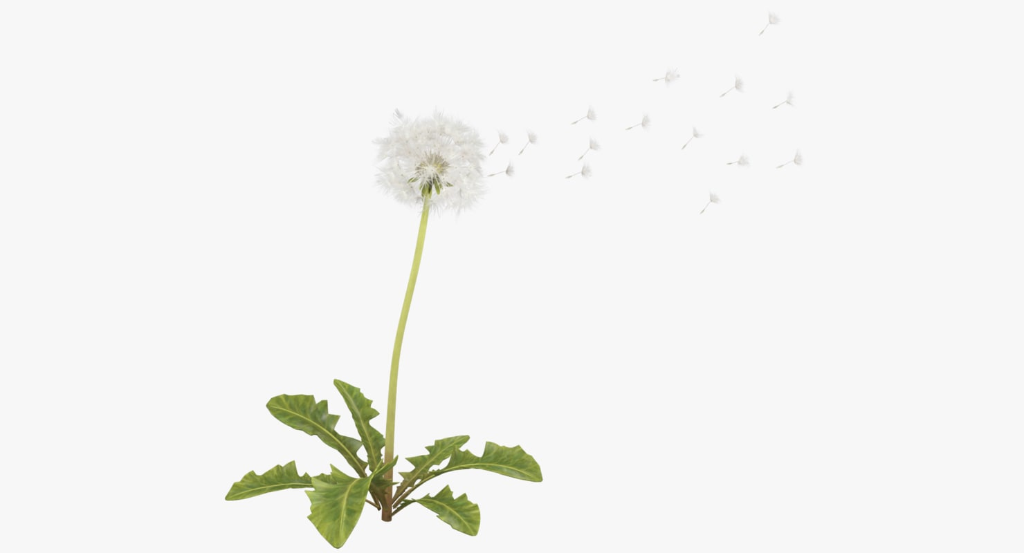 dandelion white seed model