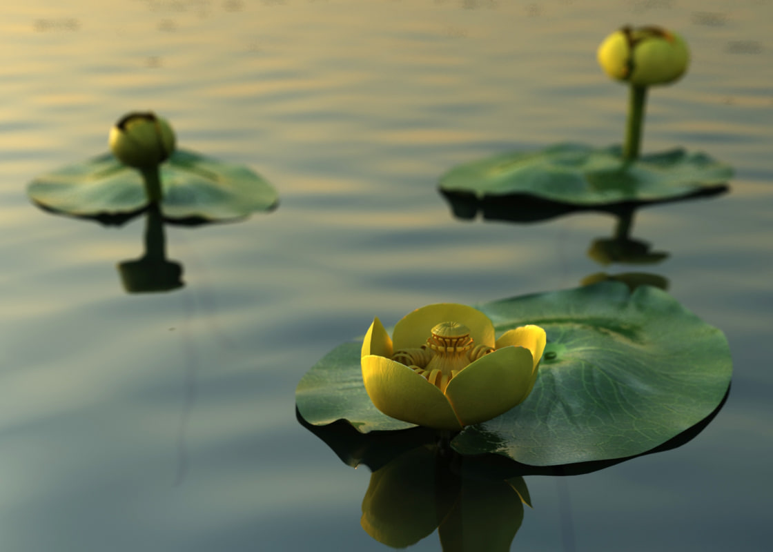 water lily nuphar lutea 3D model