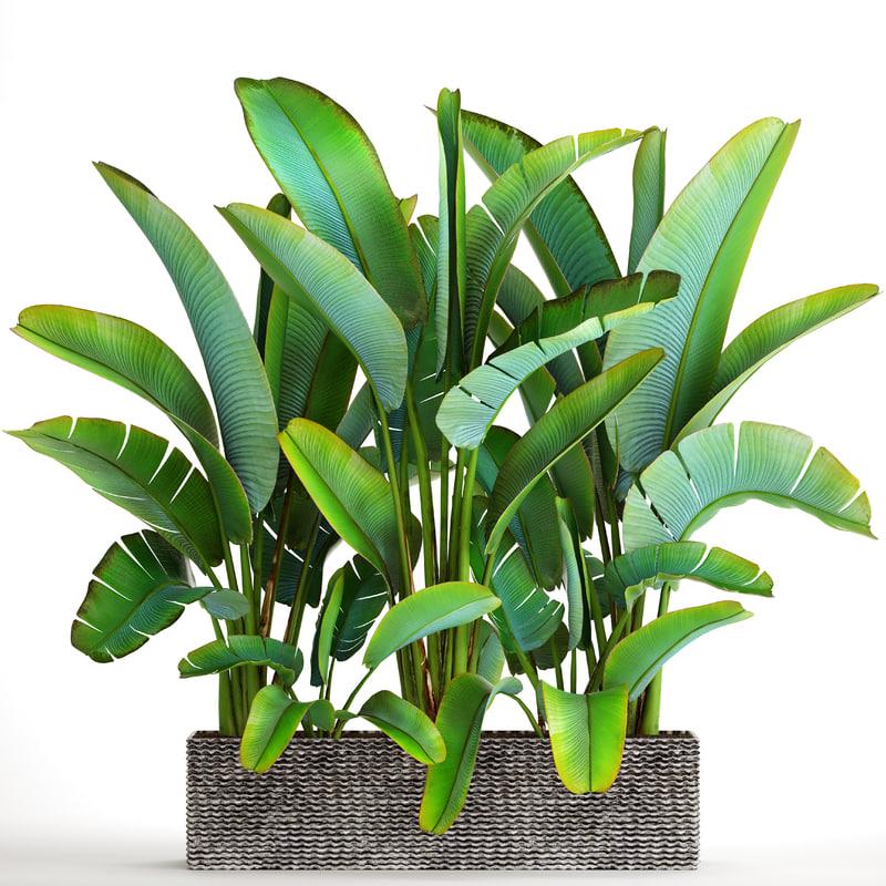 3D ravenala palm banana tree model